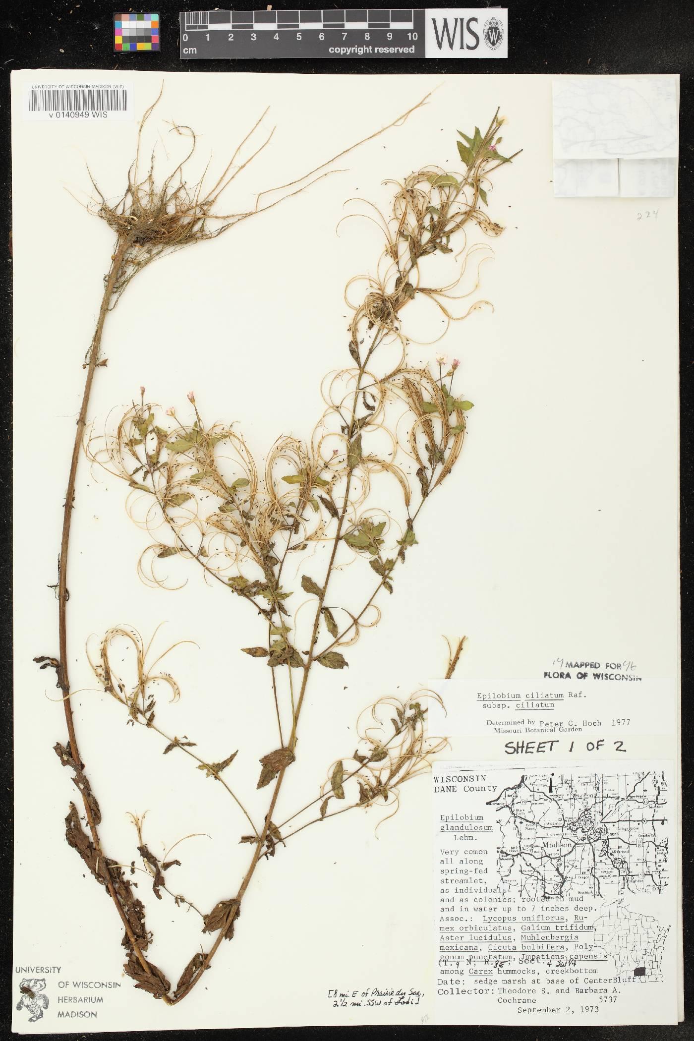Epilobium ciliatum subsp. ciliatum image