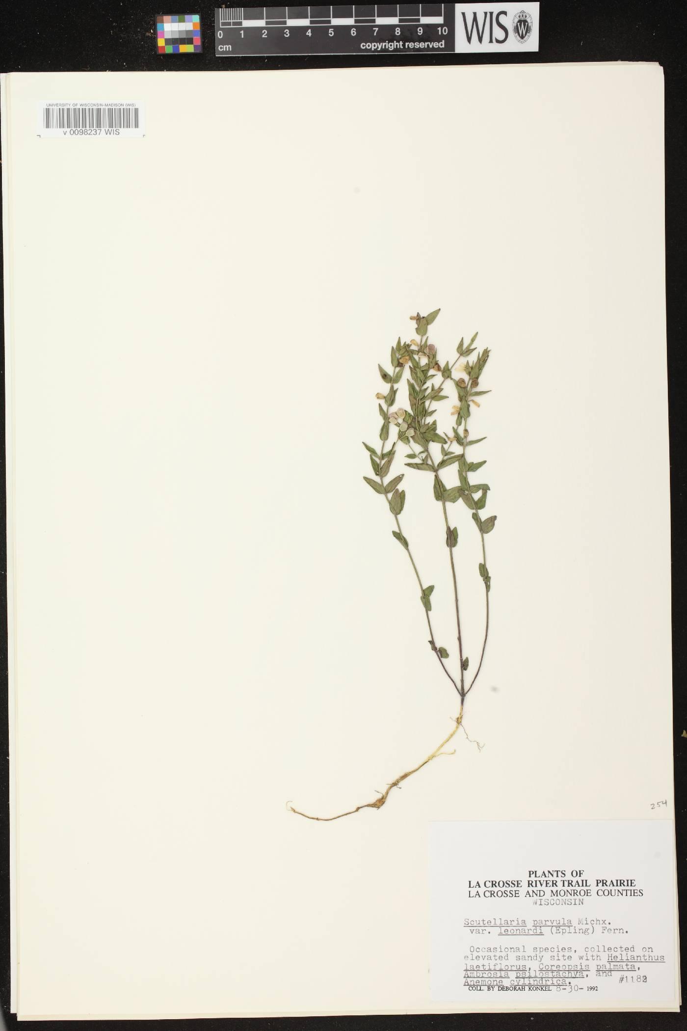 Scutellaria parvula var. missouriensis image