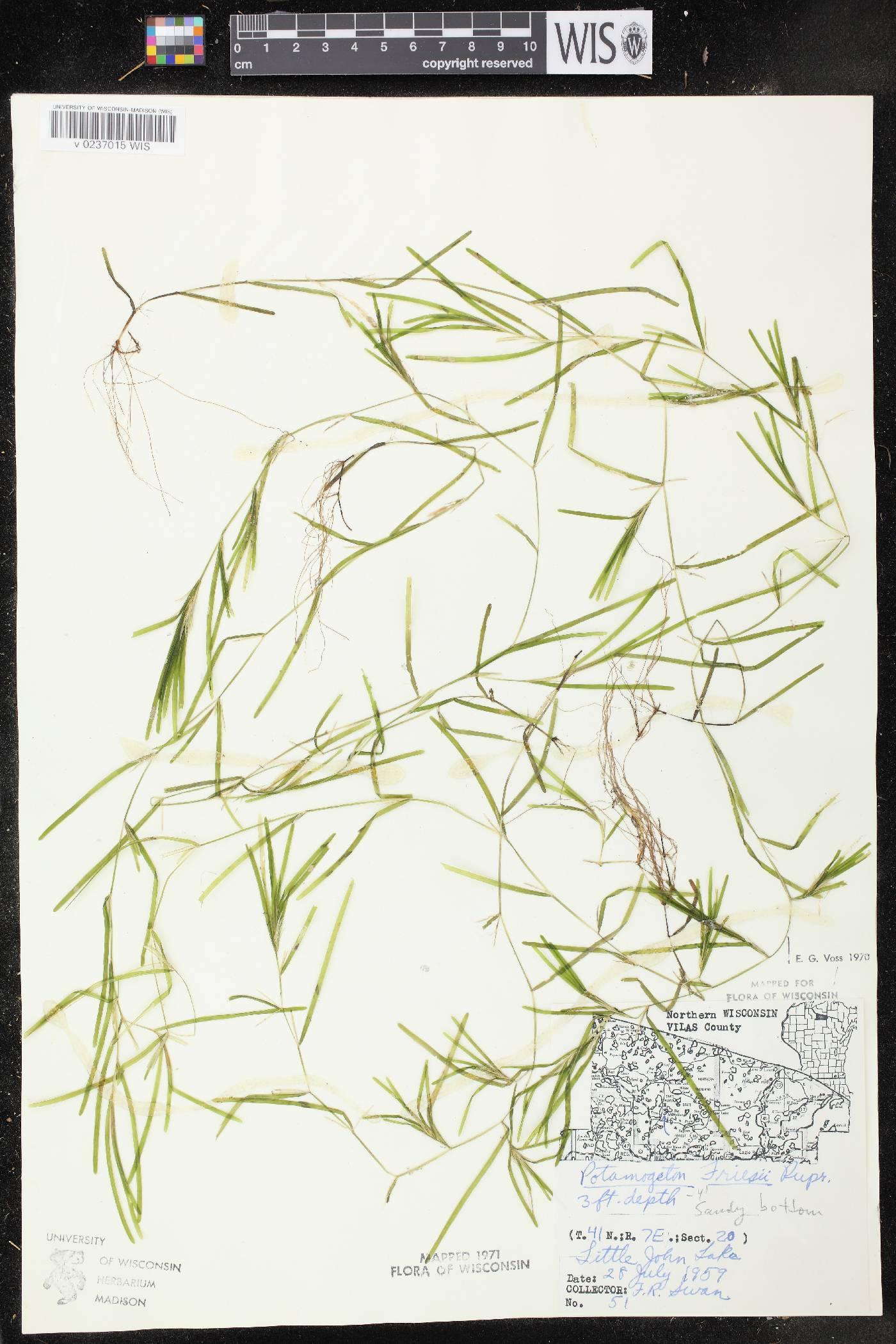 Potamogeton friesii image