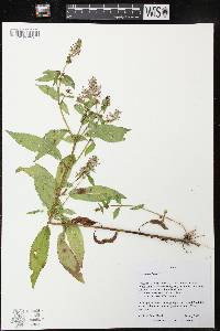 Image of Stachys