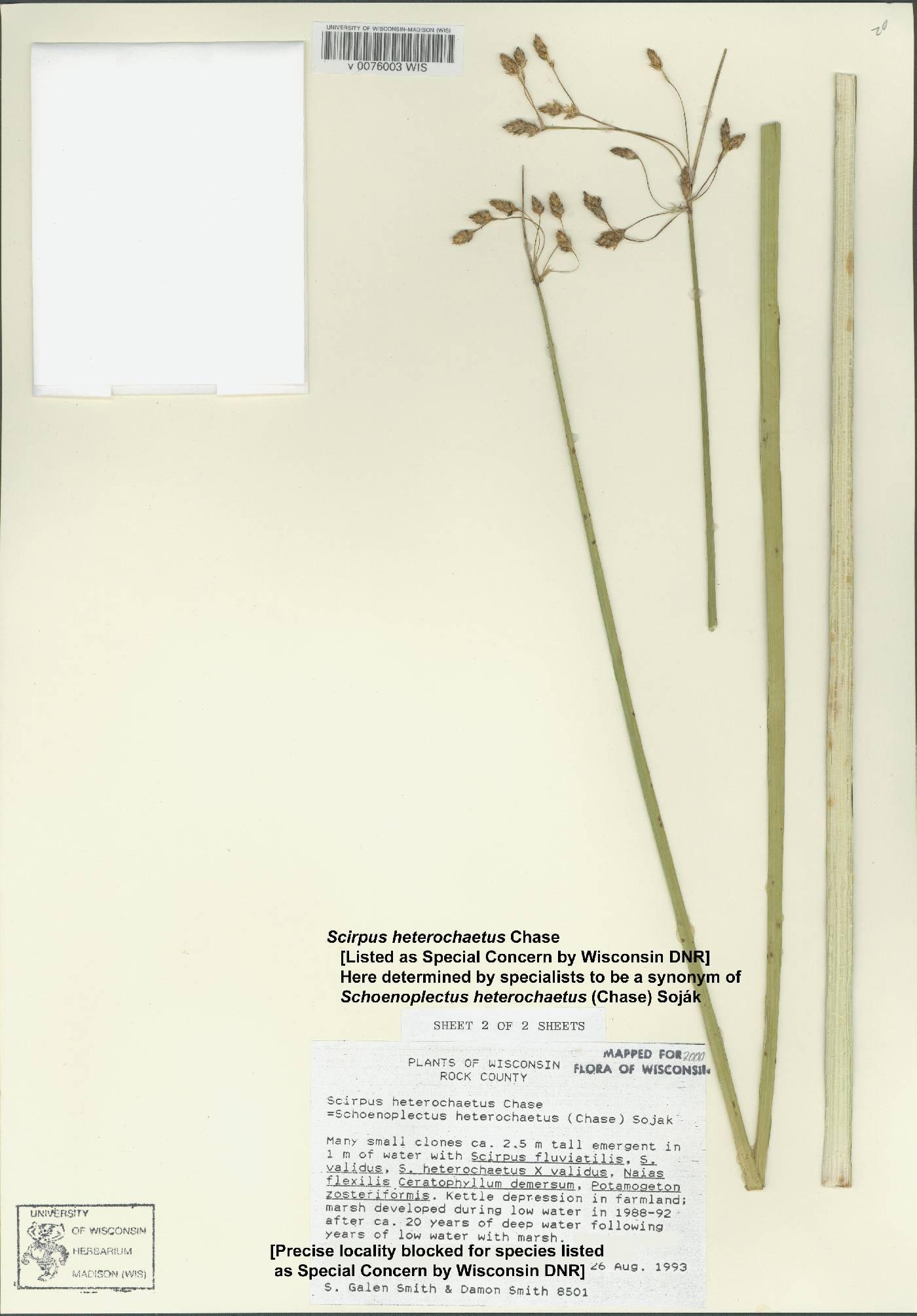 Schoenoplectus heterochaetus image