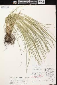 Carex echinodes image