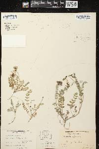 Astragalus alpinus var. alpinus image