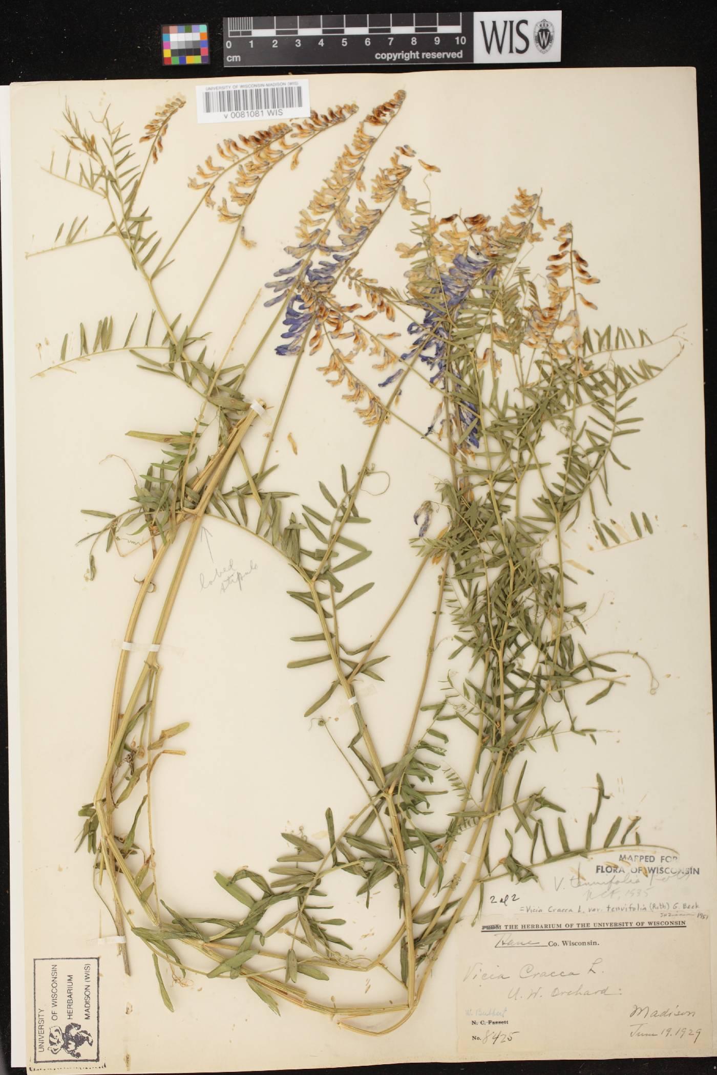 Vicia cracca subsp. tenuifolia image