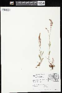 Image of Rumex