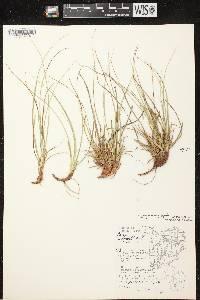 Carex tonsa var. rugosperma image
