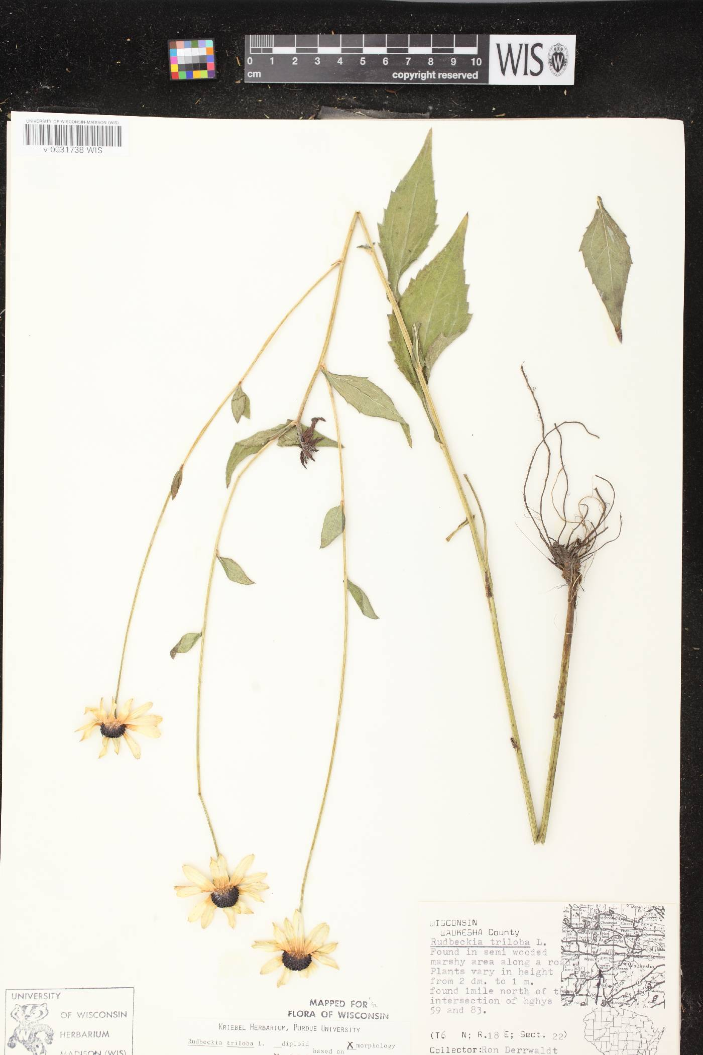 Rudbeckia triloba var. triloba image