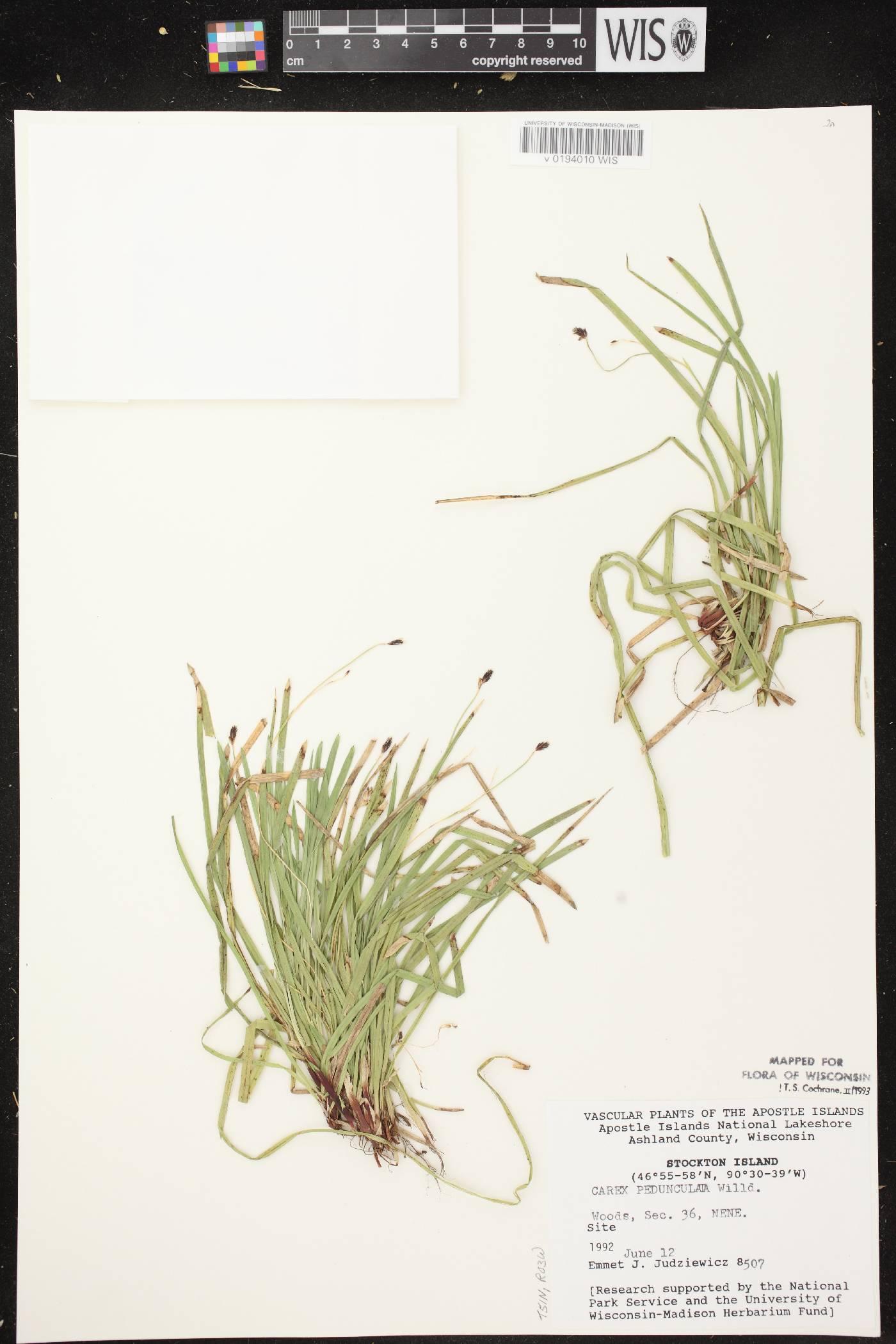 Carex pedunculata image