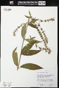 Image of Stachys tenuifolia