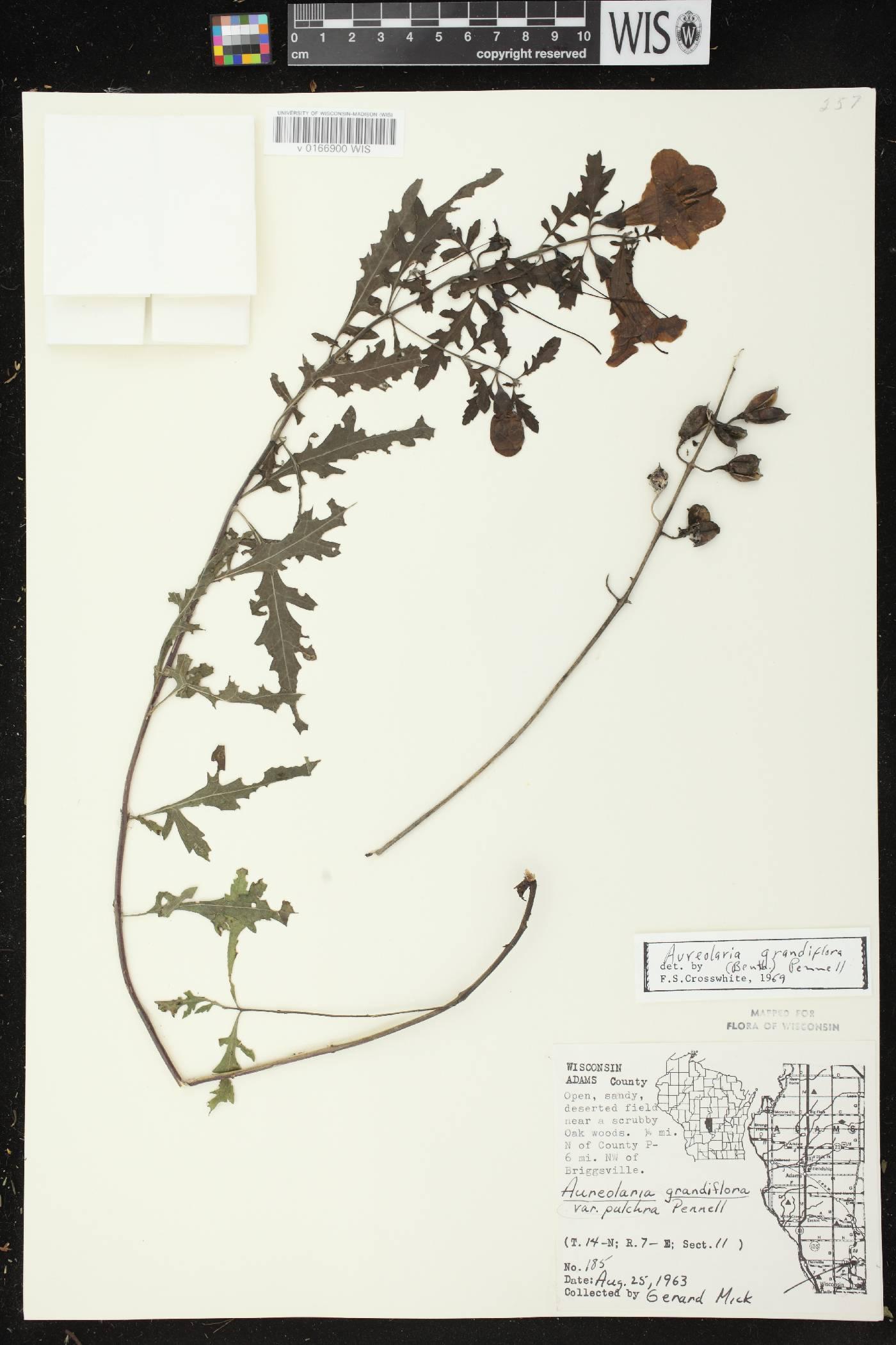 Aureolaria grandiflora var. pulchra image