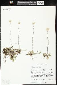 Image of Antennaria howellii