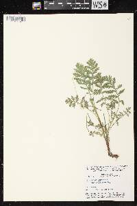 Tanacetum vulgare image