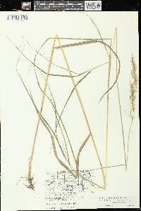 Image of Calamagrostis canadensis var. canadensis