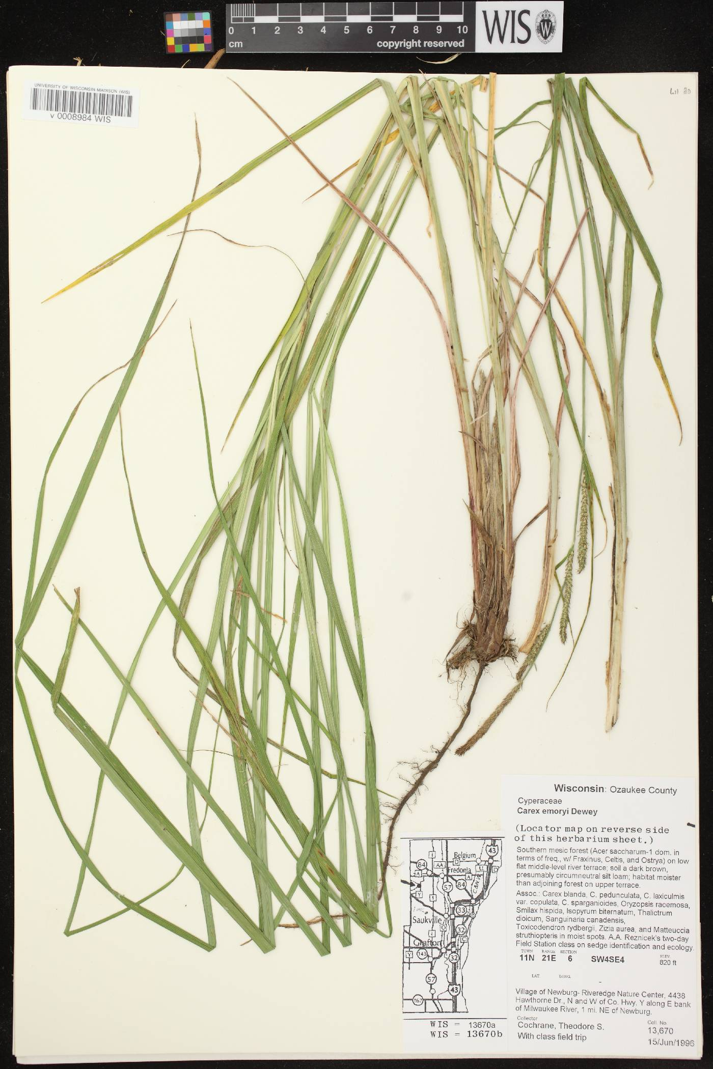 Carex emoryi image