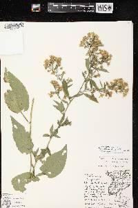 Symphyotrichum cordifolium X S. drummondii image