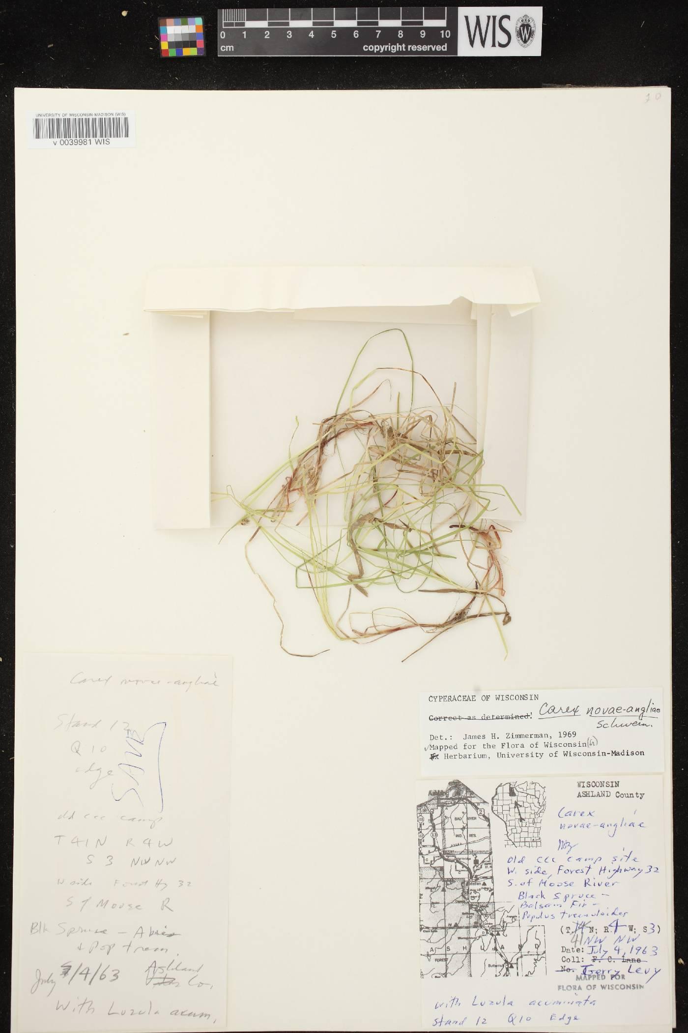 Carex novae-angliae image