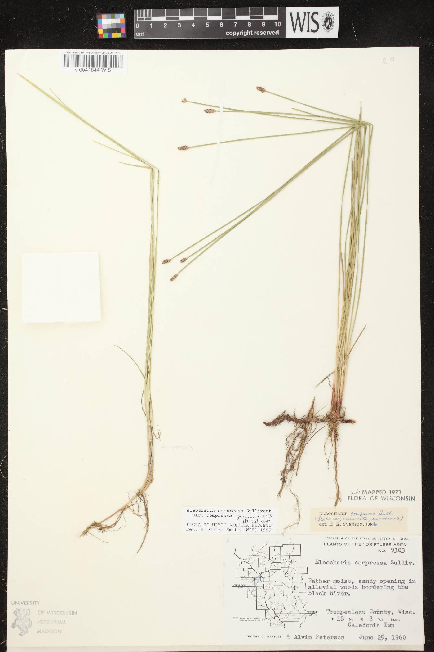 Eleocharis compressa var. compressa image