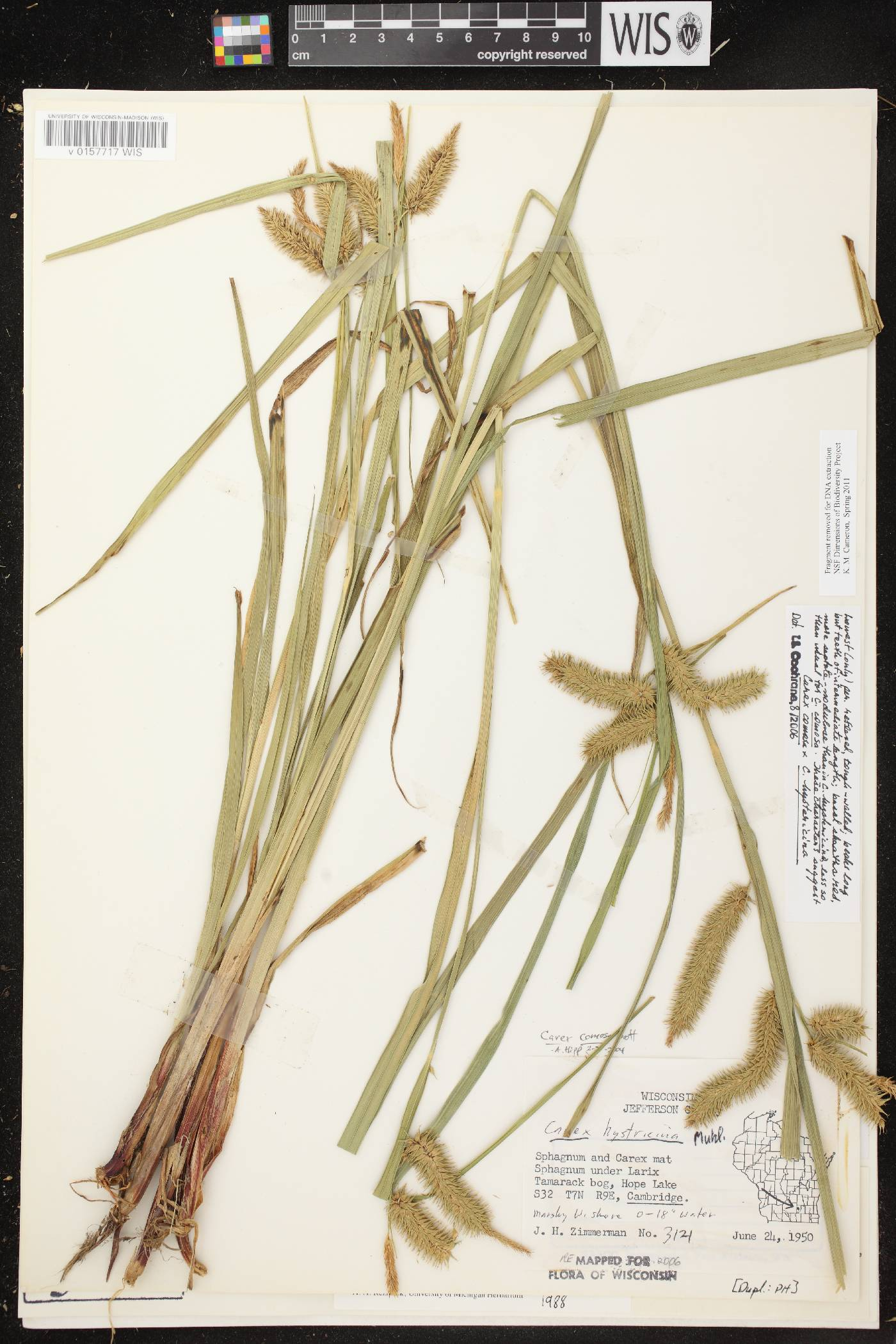 Carex comosa X C. hystericina image
