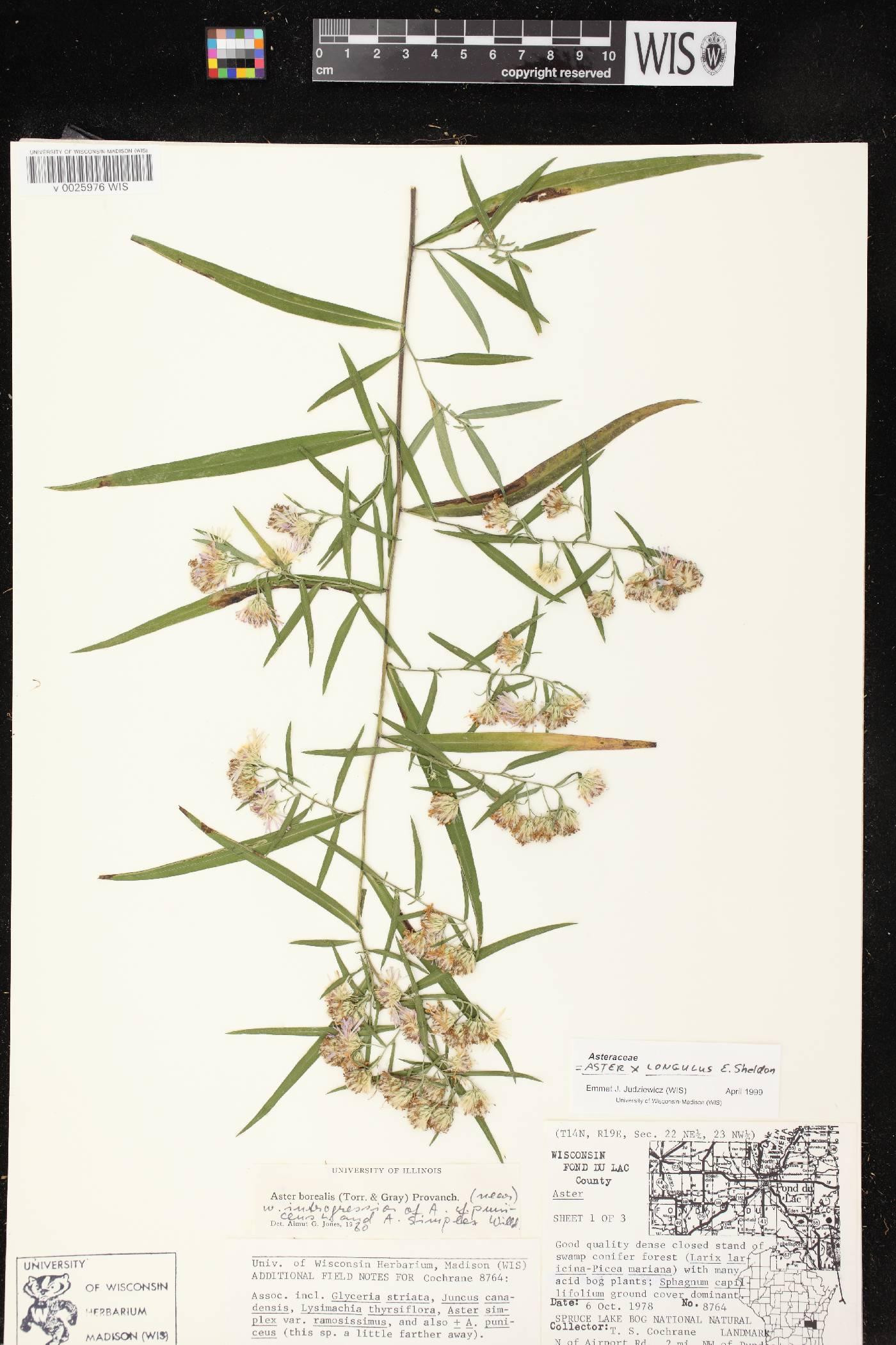 Symphyotrichum X longulum image