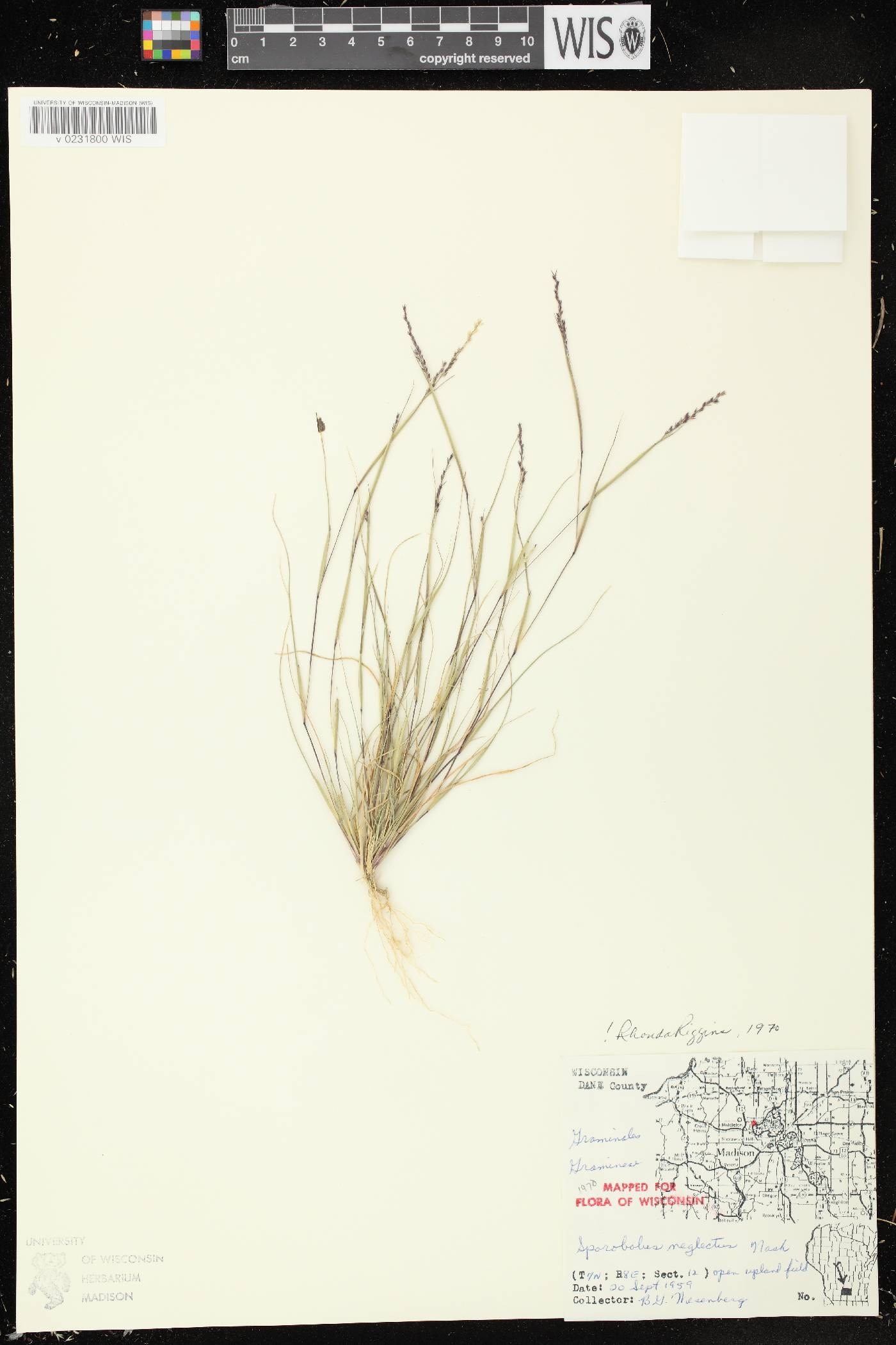 Sporobolus neglectus image