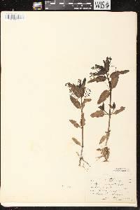 Veronica beccabunga image