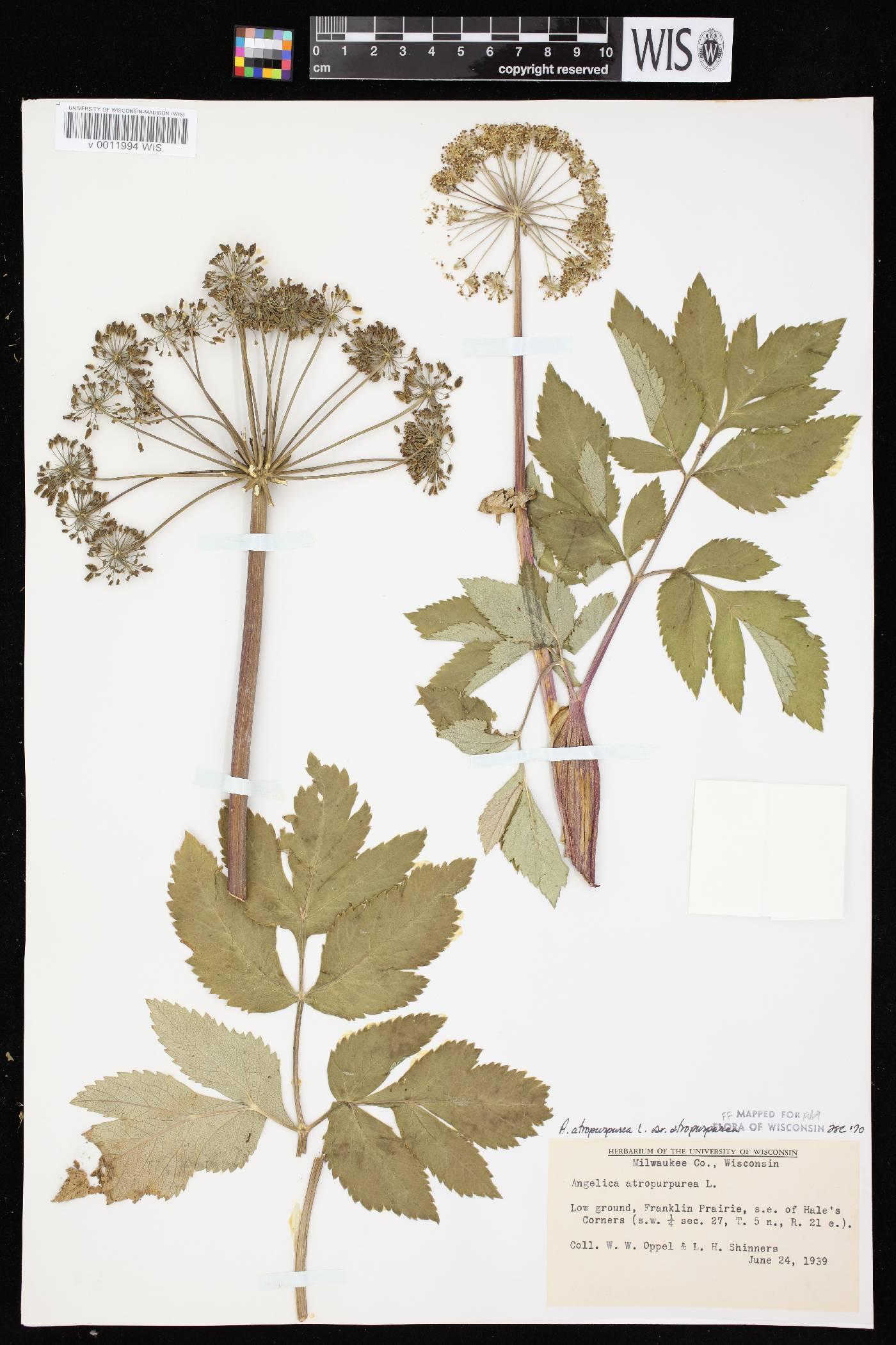 Angelica atropurpurea var. atropurpurea image