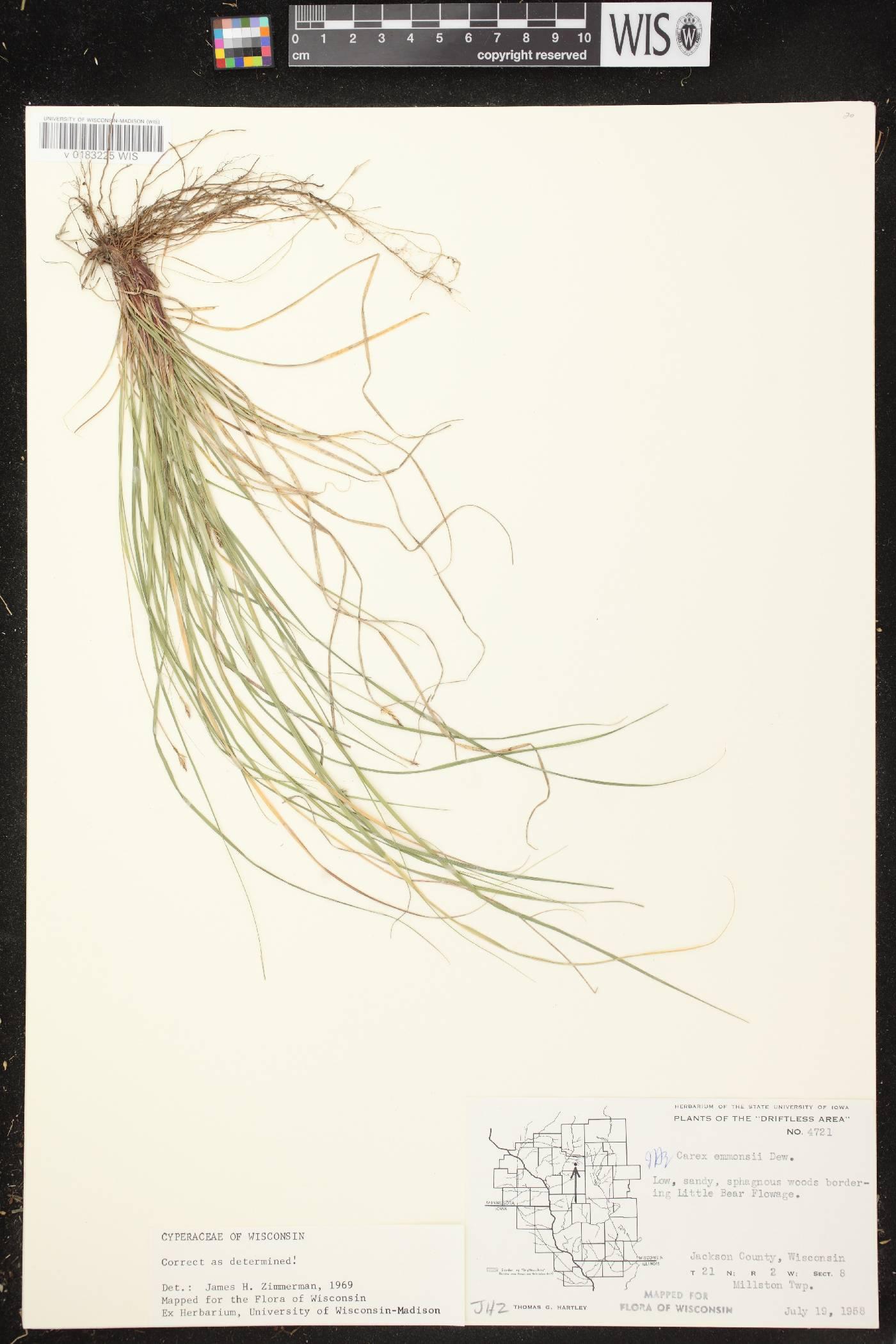 Carex albicans var. emmonsii image