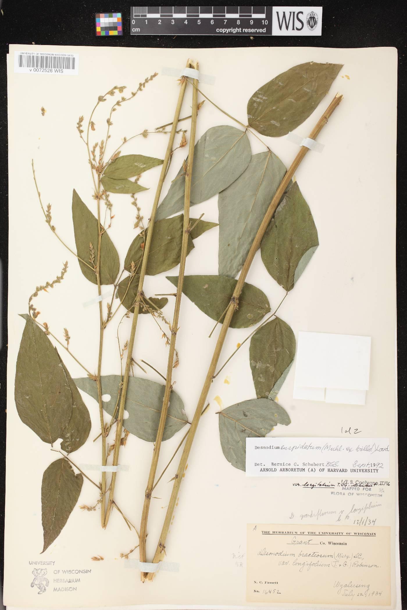 Desmodium cuspidatum var. longifolium image