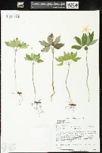 Image of Anemone quinquefolia