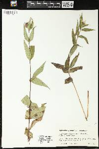 Image of Helianthus divaricatus
