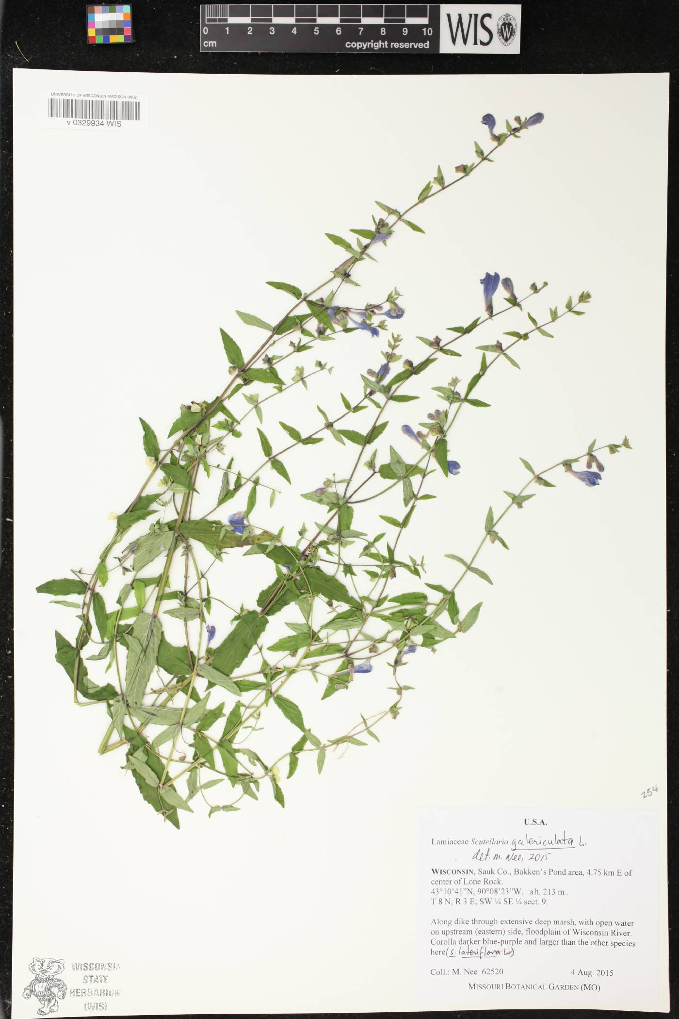 Scutellaria galericulata image