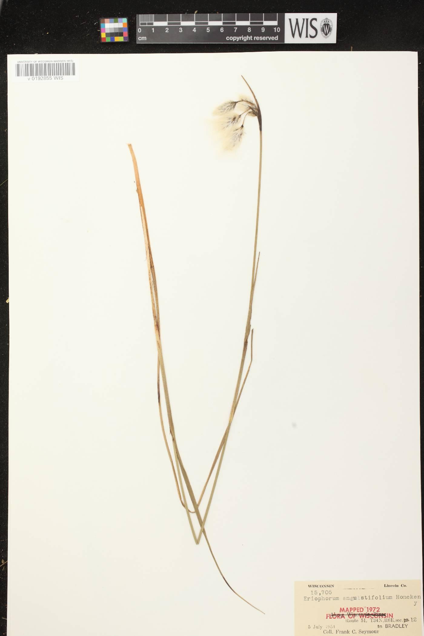 Eriophorum angustifolium image