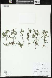 Image of Eclipta prostrata