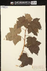 Ribes nigrum image