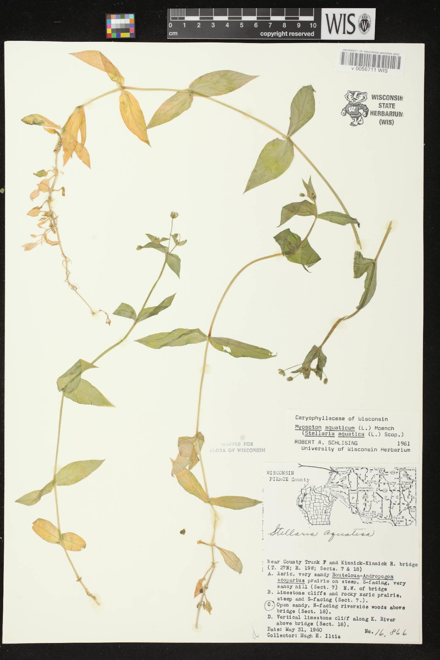 Myosoton aquaticum image