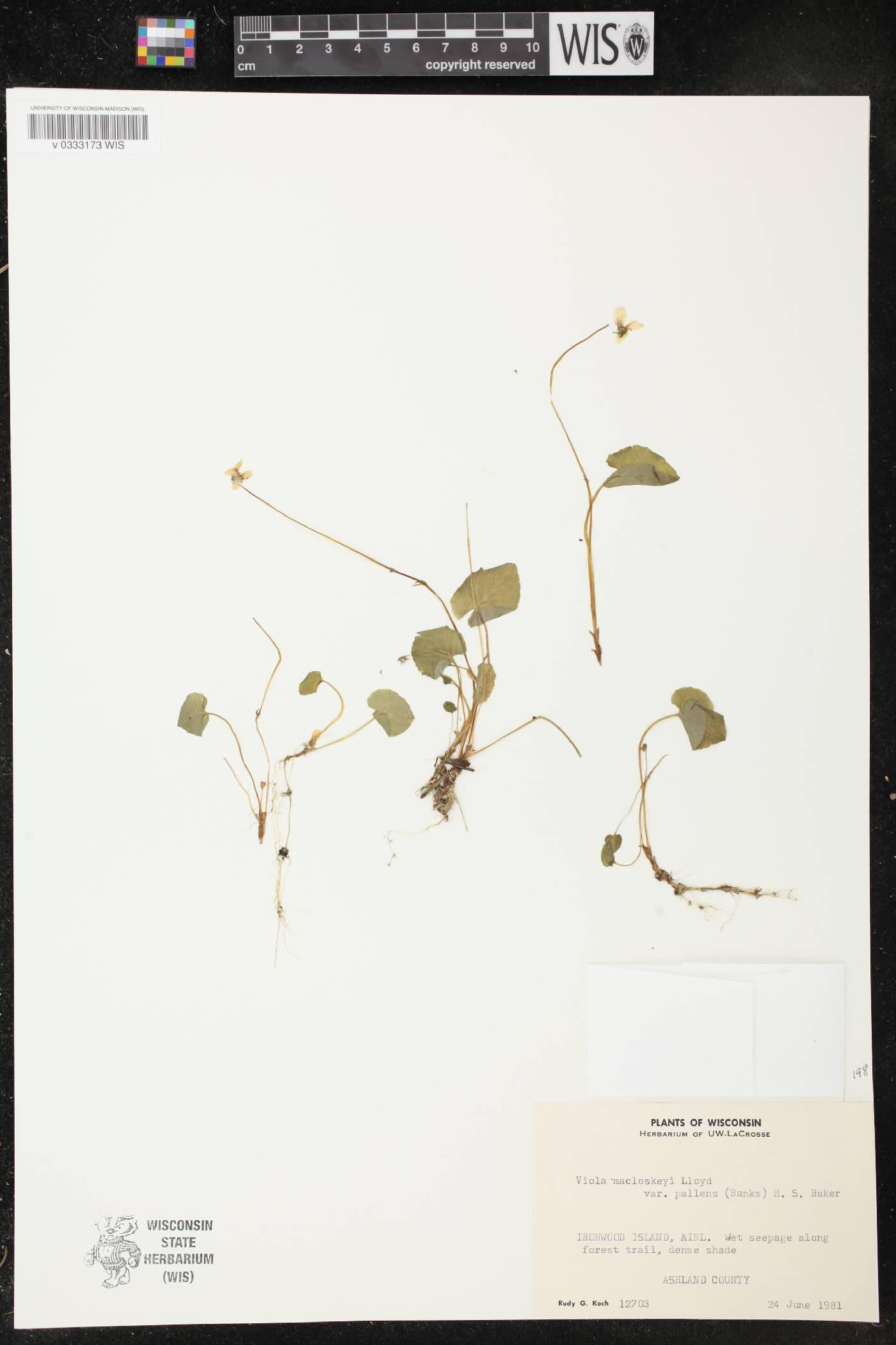 Viola macloskeyi image