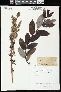 Image of Salix myricoides