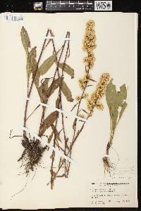Image of Solidago speciosa subsp. speciosa var. speciosa