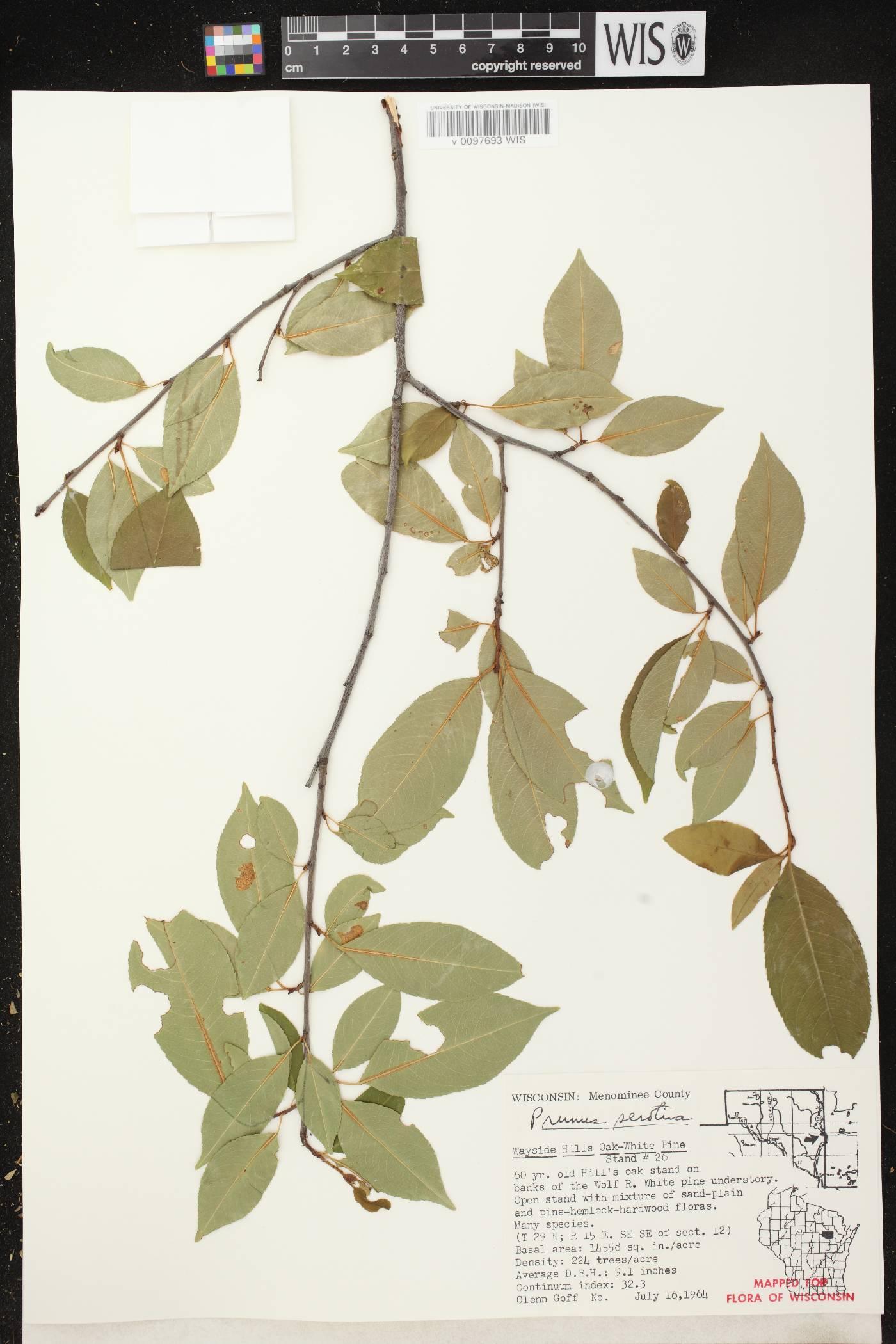Prunus serotina var. serotina image