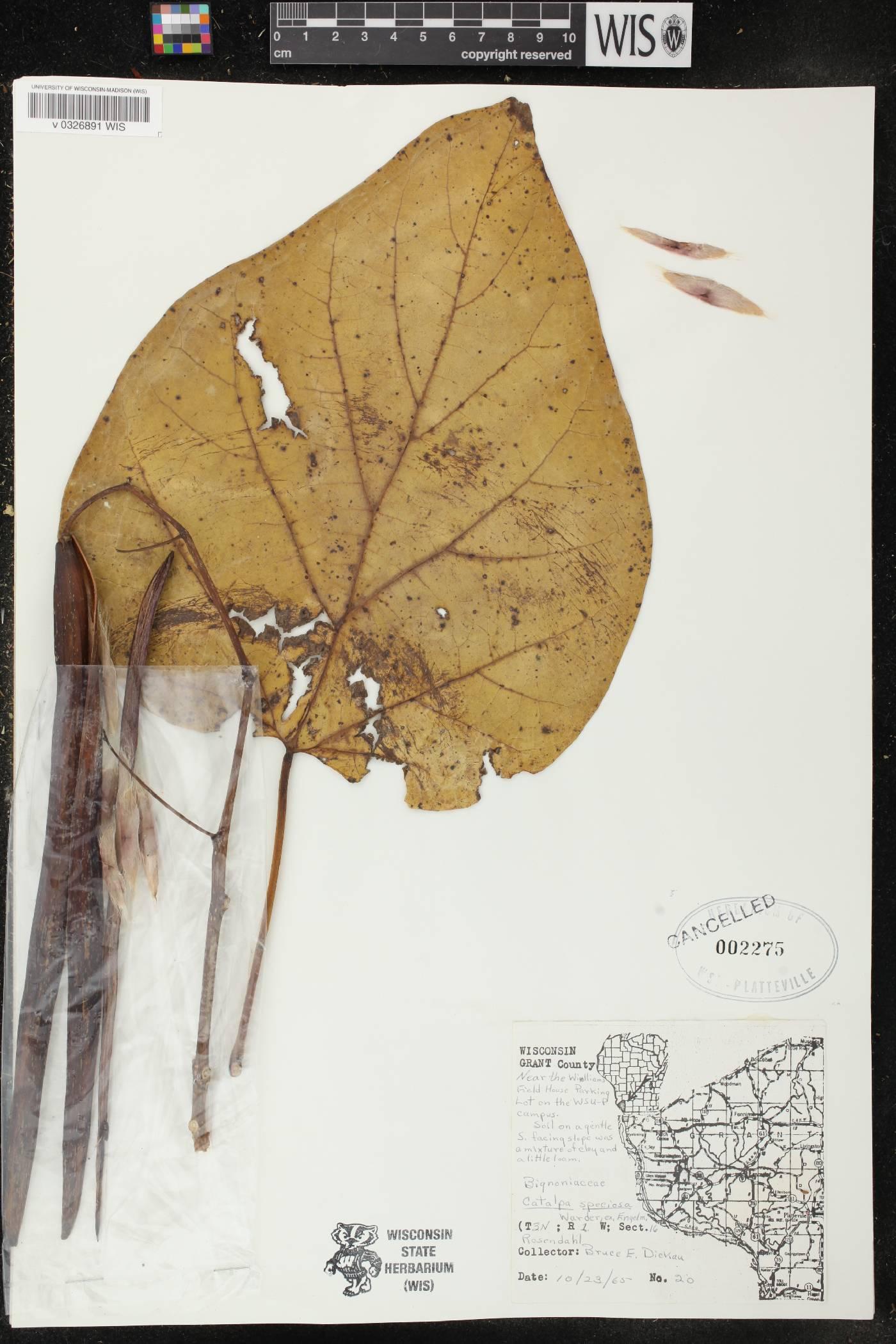 Catalpa image