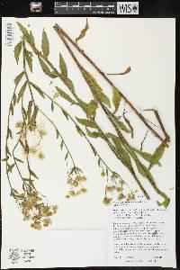 Image of Erigeron annuus