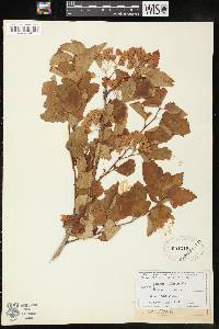 Physocarpus opulifolius image