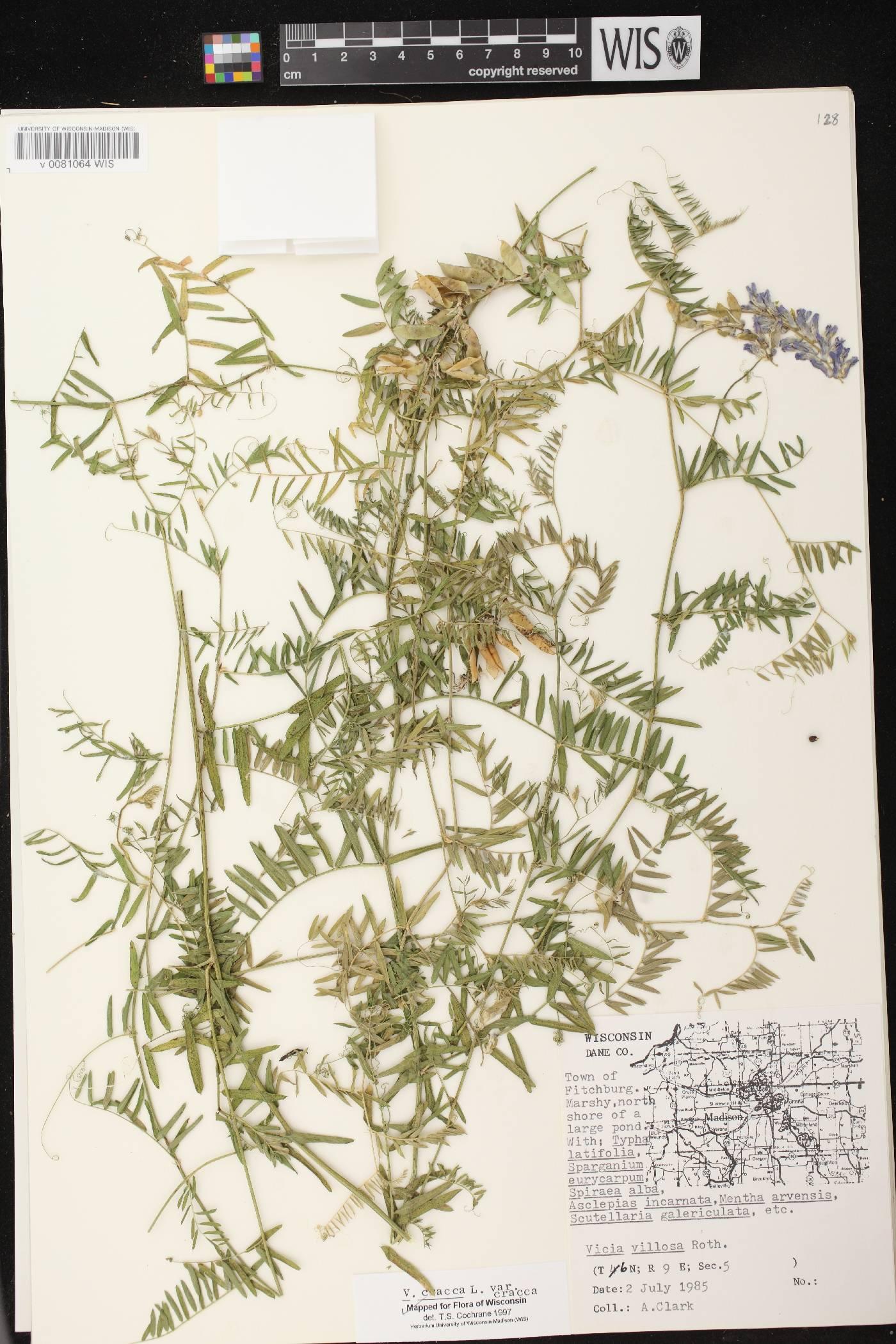 Vicia cracca subsp. cracca image