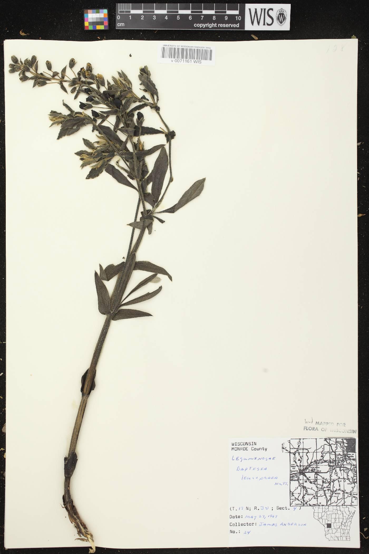 Baptisia leucophaea image
