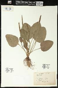 Image of Plantago