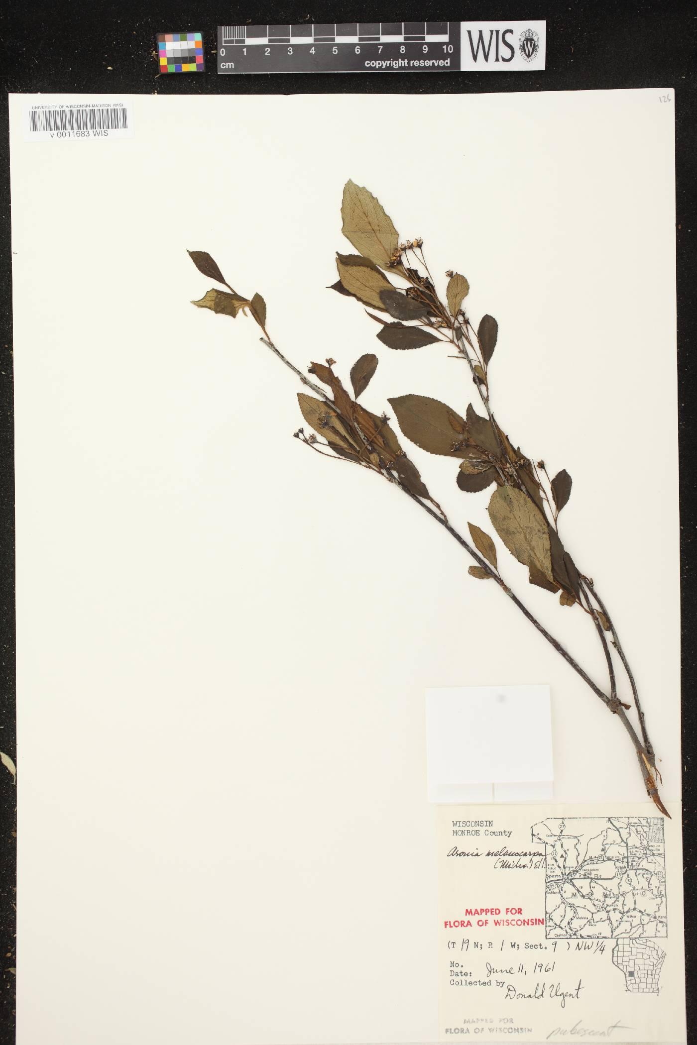 Aronia x prunifolia image