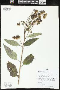 Image of Prenanthes