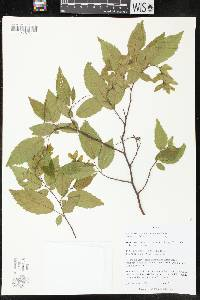 Image of Carpinus caroliniana
