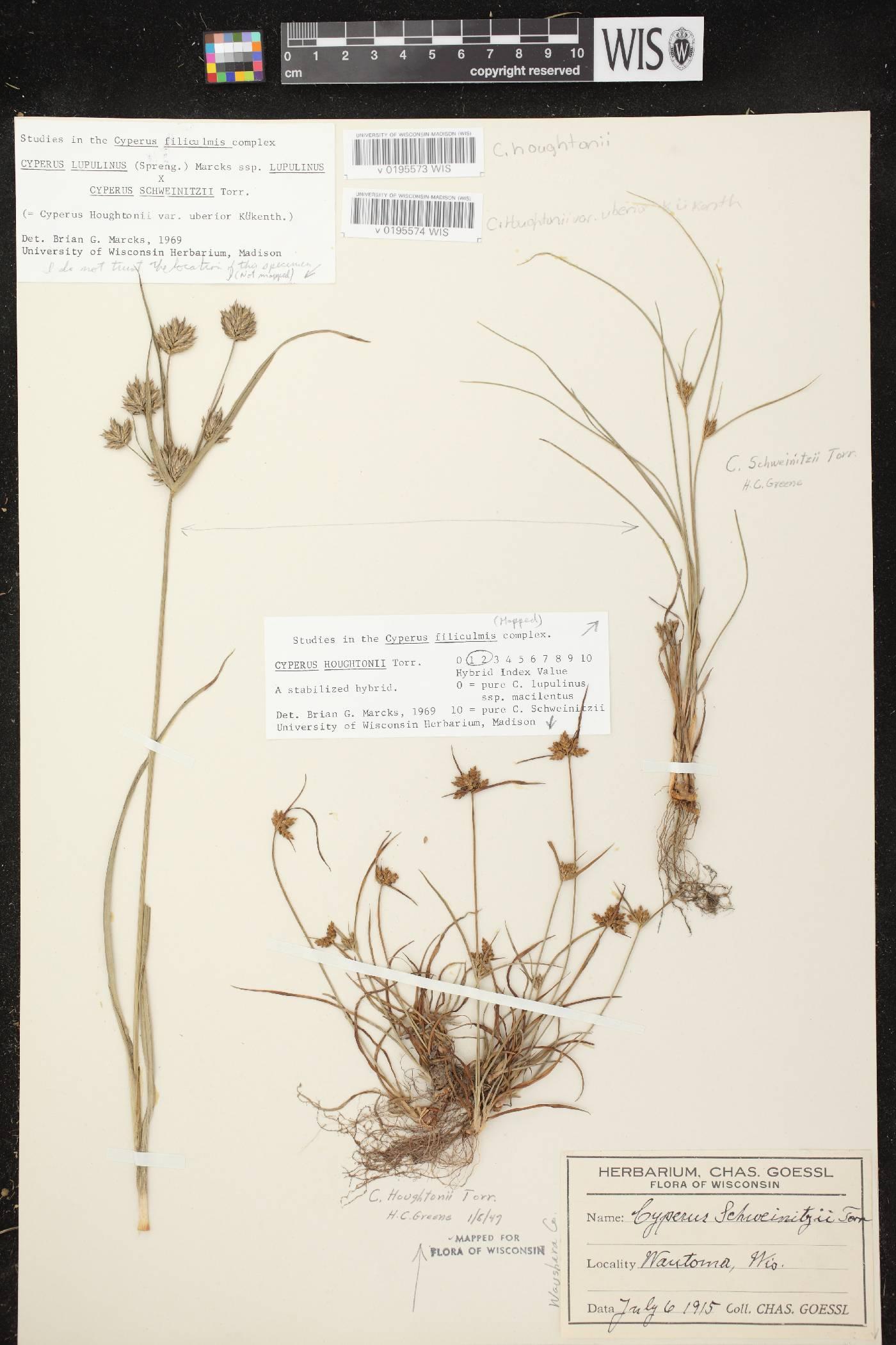 Cyperus X mesochorus image