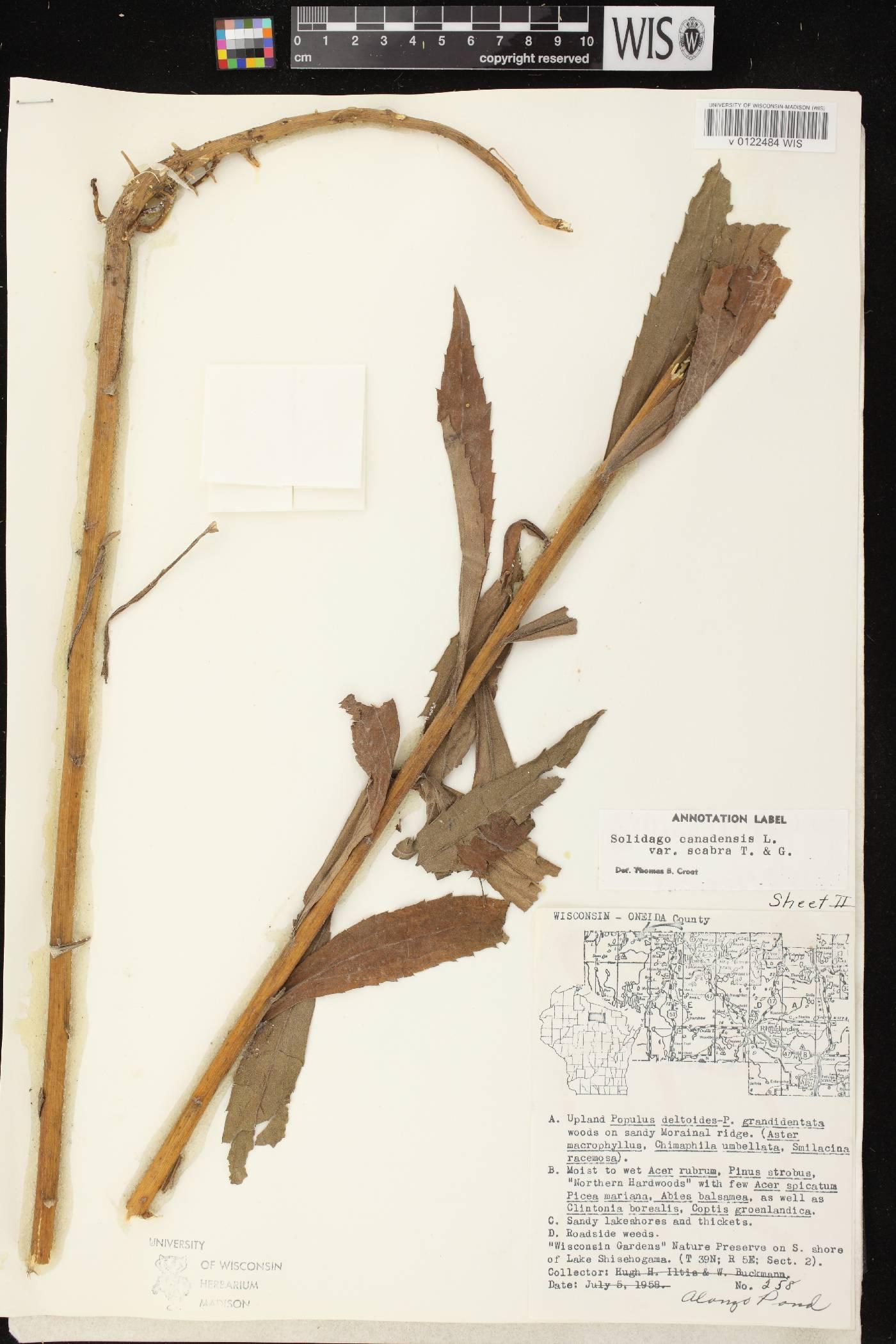 Solidago altissima subsp. altissima image